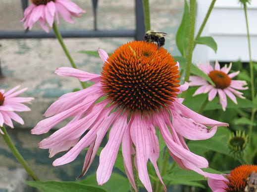 Bumbles Bees Purple Cone Flowers Summer Weather