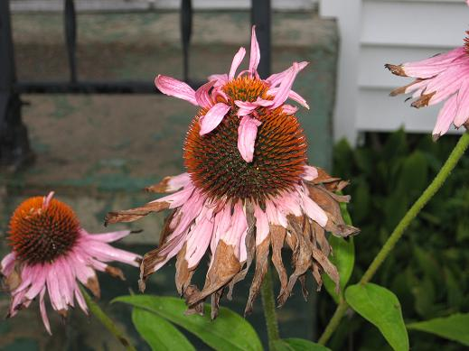 Cone Flowers Going To Seed Late August