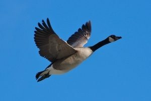 Giant Canada Geese Once Thought Extinct Plentiful Around Michigan