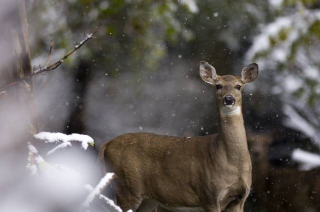 For Optimal CWD Surveillance, DNR Seeks Testing  in Key Areas - Photo Whitetail - Department of Natural Resources