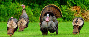 Michigan Fall turkey application period open now through August 1, 2020